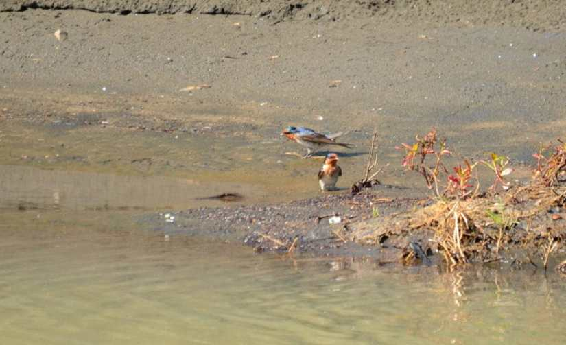 An image of Welcome Swallows on the edge of the Karekare Stream near Auckland, New Zealand.