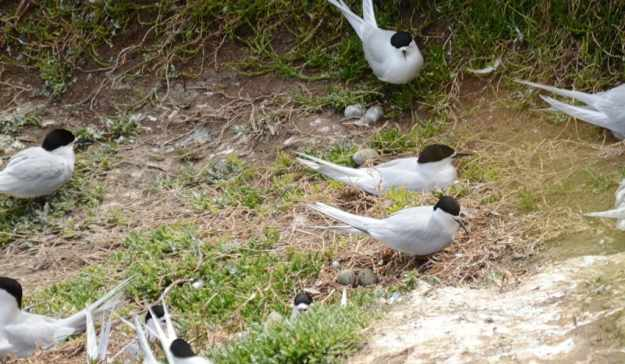 An image of a White-fronted Terns with their eggs at Muriwai in New Zealand.