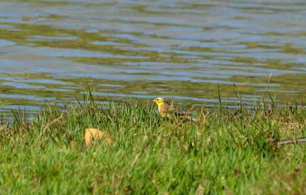 An image of a Yellowhamer bird on the edge of the Karekare Stream near Auckland, New Zealand.