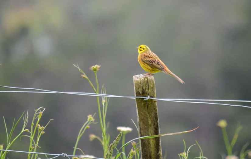 An image of a Yellowhammer sitting on a fence post near Karekare Falls, Auckland, New Zealand.