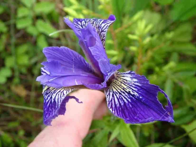a blue flag iris along baker's brook falls trail in gros morne national park, newfoundland