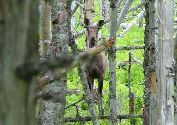 a moose along baker's brook falls trail in gros morne national park, newfoundland