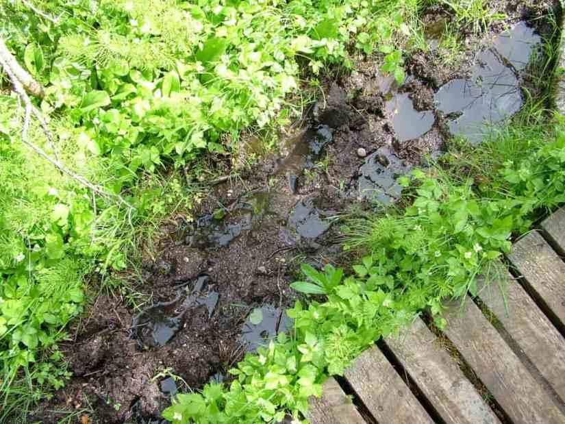 moose tracks in mud along baker's brook falls trail, gros morne national park, newfoundland