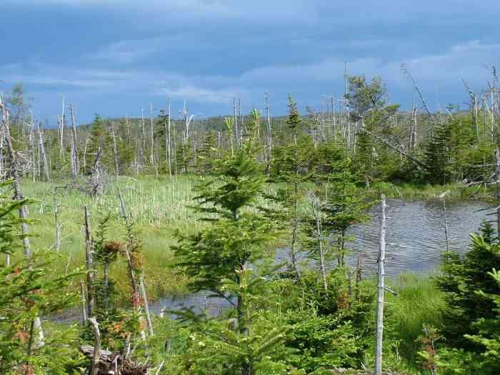 flooded forest along baker's brook falls trail, gros morne national park, newfoundland