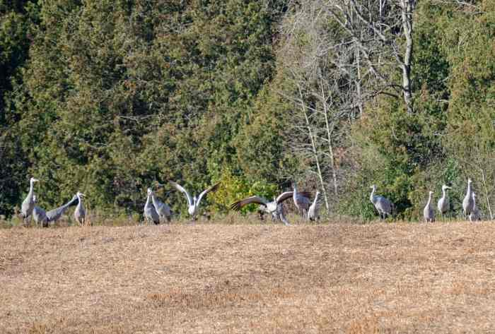 sandhill cranes in a field in kawartha lakes district of ontario, canada