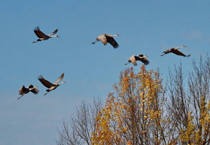 sandhill cranes in flight over kawartha lakes in ontario, canada