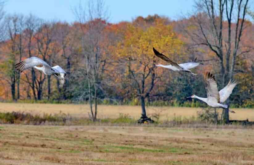 sandhill cranes in flight over kawartha lakes district in ontario, canada