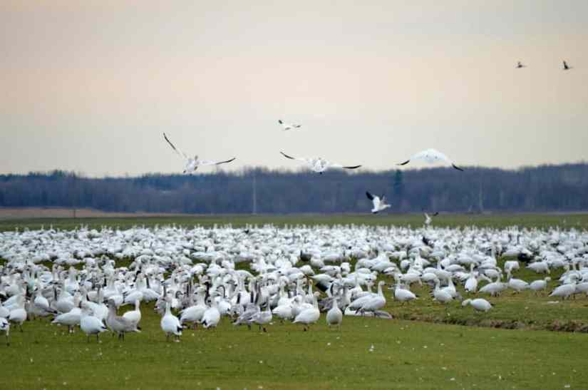 a flock of greater snow geese on the ground in ontario, canada