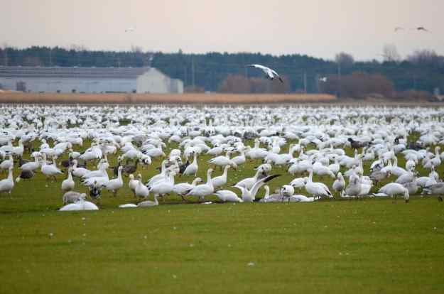 a field of snow geese in ontario, canada