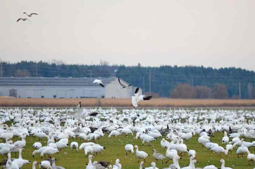 greater snow geese foraging in ontario, canada