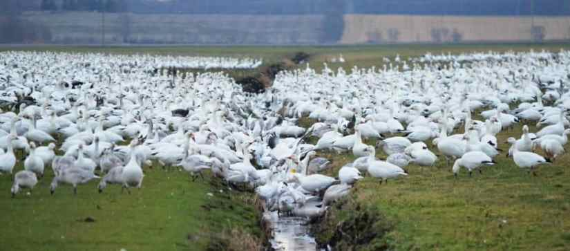 greater snow geese in a trench in ontario, canada