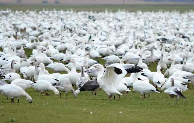 greater snow geese grazing in ontario, canada