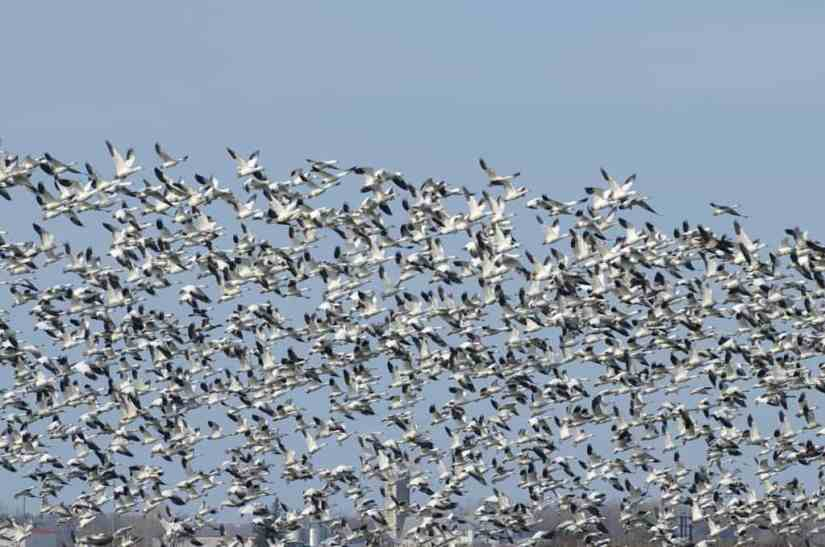 a flock of airborne greater snow geese in ontario, canada
