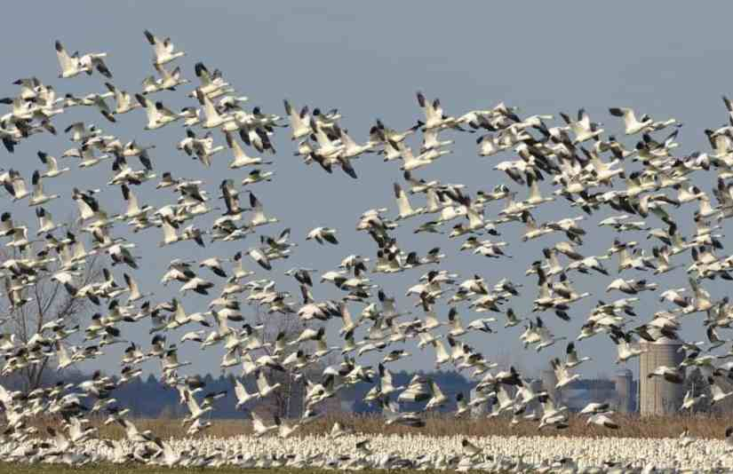 flying greater snow geese in ontario, canada