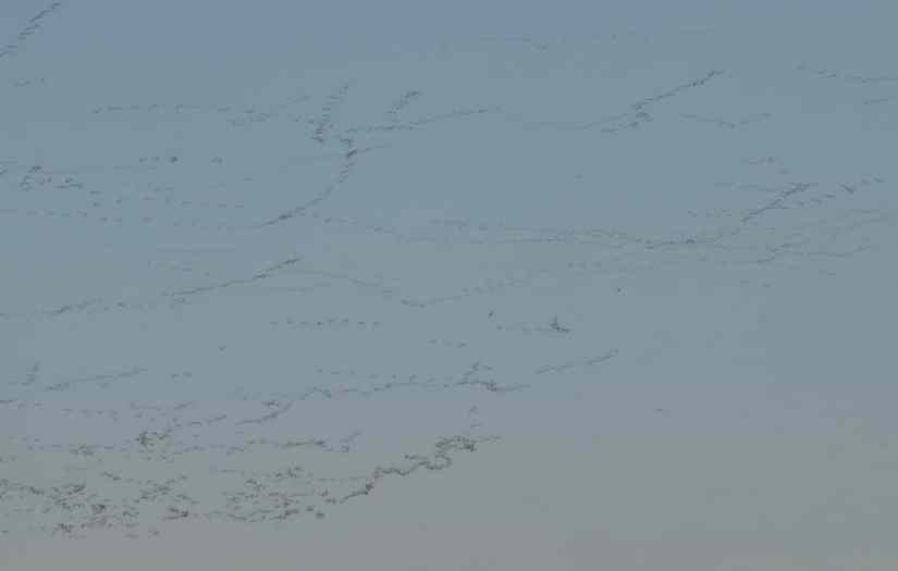 Greater Snow Geese flock together in the sky in Eastern Ontario, Canada