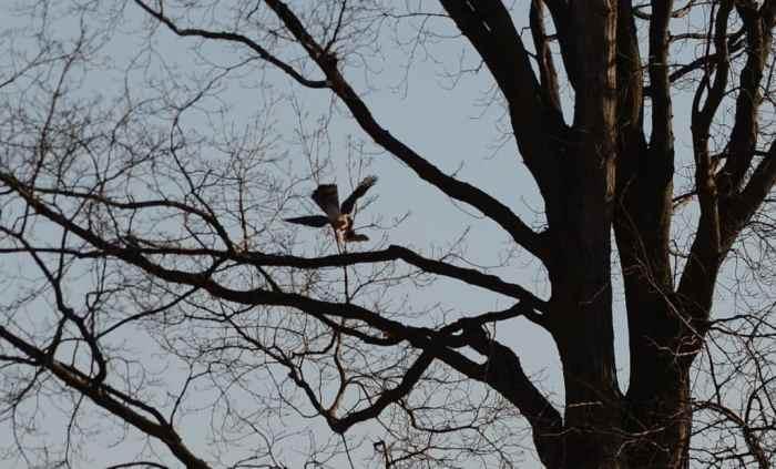 a cooper's hawk carrying a big brown bat in a north Toronto park, ontario, canada