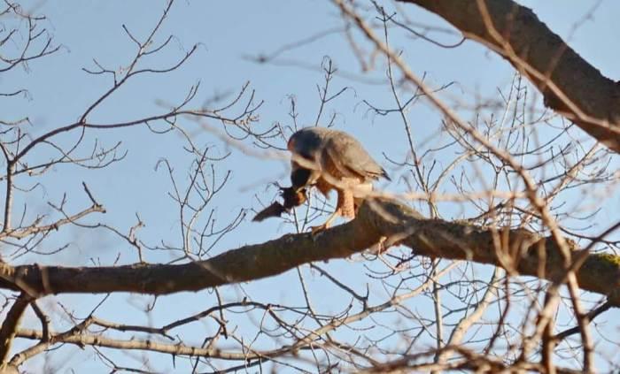 a cooper's hawk grasping a big brown bat in a north Toronto park, ontario, canada