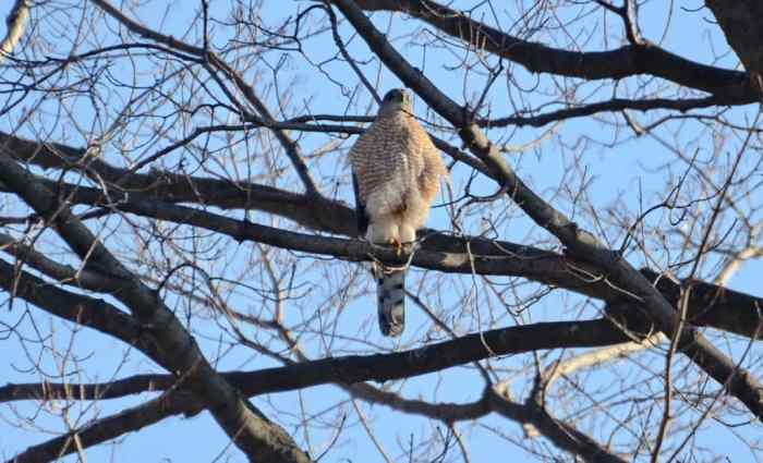 a cooper's hawk perched in a north Toronto park in ontario, canada