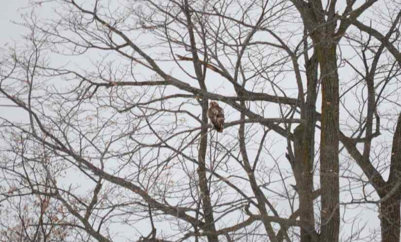 a red-tailed hawk in kawartha lakes region of ontario