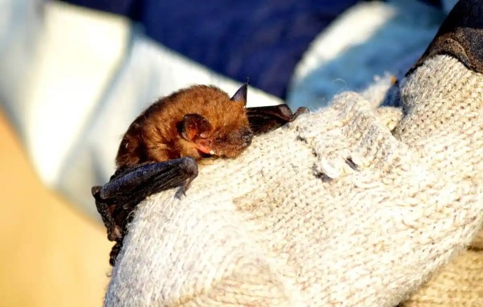 a Big Brown Bat in a park in Toronto, Ontario in Canada