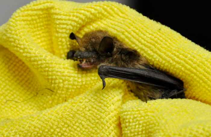 a Big Brown Bat in care at Shades of Hope Wildlife Refuge in Pefferlaw, Ontario