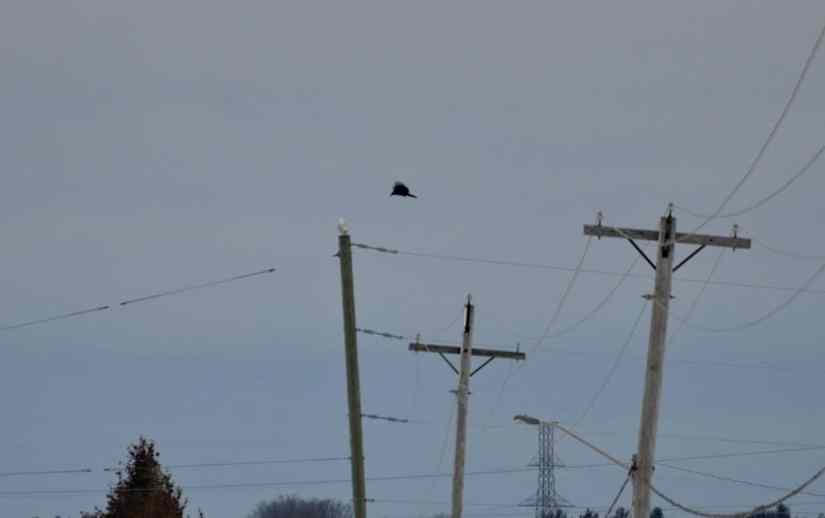 a crow harassing a snowy owl in kawartha lakes region of ontario