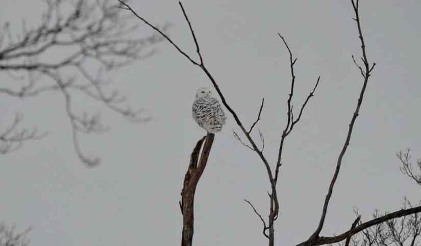 a snowy owl on a snag in kawartha lakes region of ontario