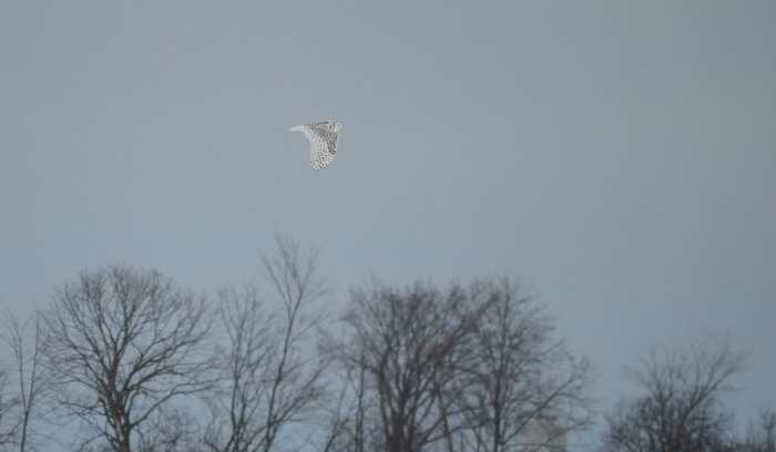a snowy owl flying in kawartha lakes region of ontario