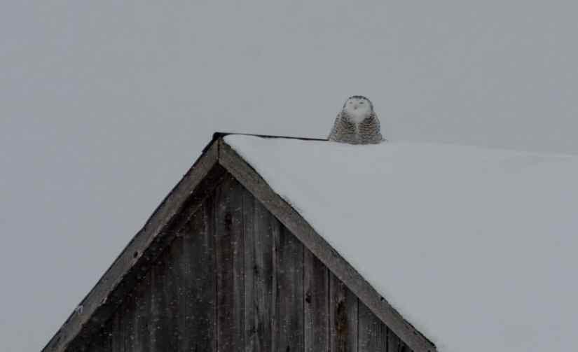 a snowy owl on a barn roof in kawartha lakes region of ontario