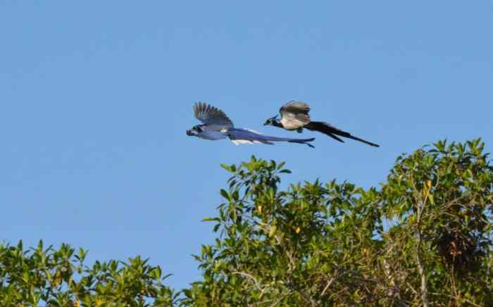 Black-throated Magpie Jays in flight in Mexico
