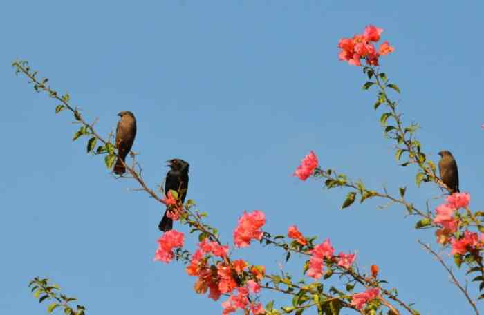 Bronzed Cowbirds perched in a flowering tree in Mexico.