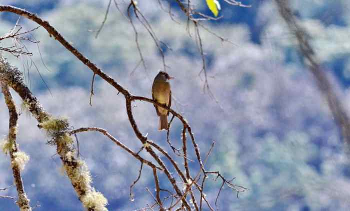 Greater Pewee sitting on a tree in Mexico.