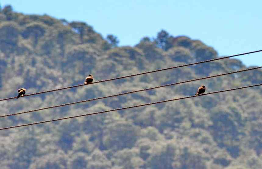 Northern Rough-winged Swallows near Tepic, Mexico.