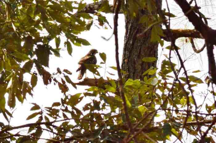 Red-tailed Hawk sitting in a tree in Mexico.