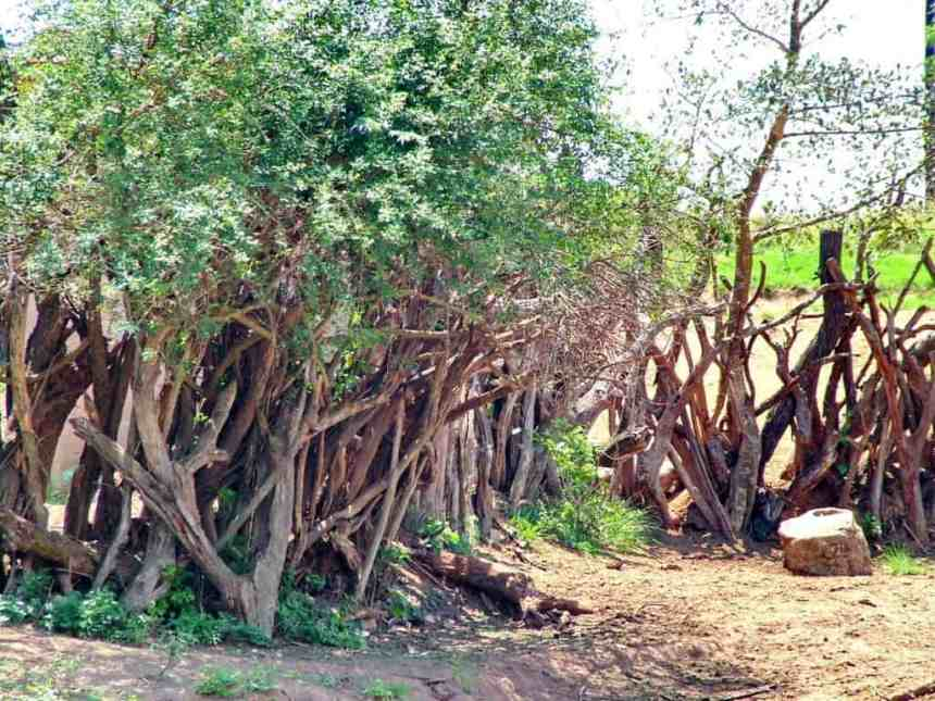 a traditional living fence in swaziland, africa