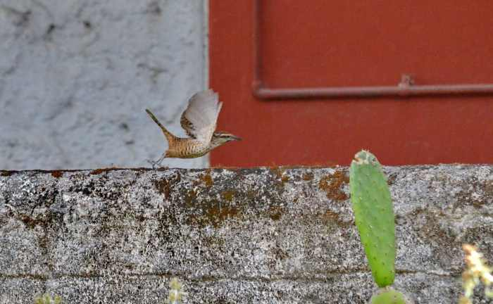 Spotted Wren in Mexico.