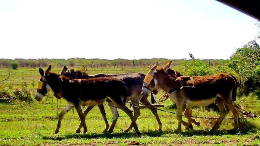 a team of working mules in swaziland, africa