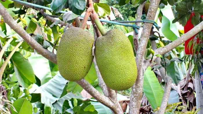 Image of Jackfruit growing on a tree near the village of La Bajada, Mexico.