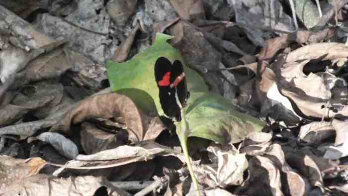 Image of a Red Postman or Crimson-patched Longwing Butterfly near La Bajada, Mexico.