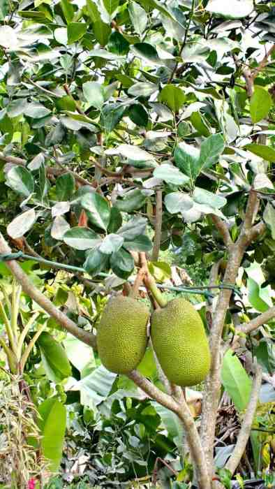 Image of Jackfruit growing near the village of La Bajada, Mexico.