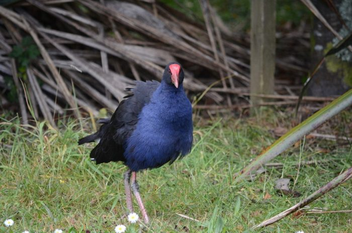an australasian swamphen, ark in the park, waitakere ranges regional park, north island, new zealand