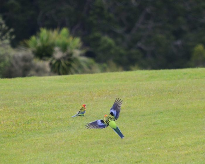 an eastern rosella in flight, ark in the park, waitakere ranges regional park, north island, new zealand