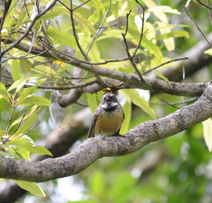 a new zealand fantail bird, ark in the park, waitakere ranges regional park, north island, new zealand