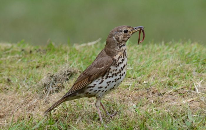 a song thrush with worm, ark in the park, waitakere ranges regional park, north island, new zealand