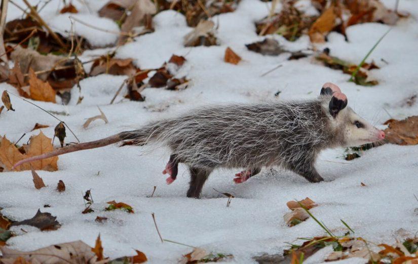 a young north american Opossum, Toronto, Ontario, Canada