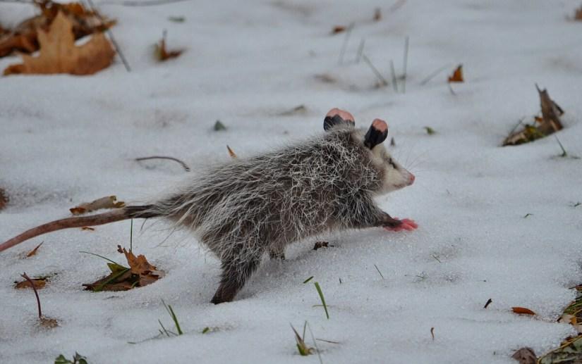 a young virginia opossum in the snow, toronto, ontario