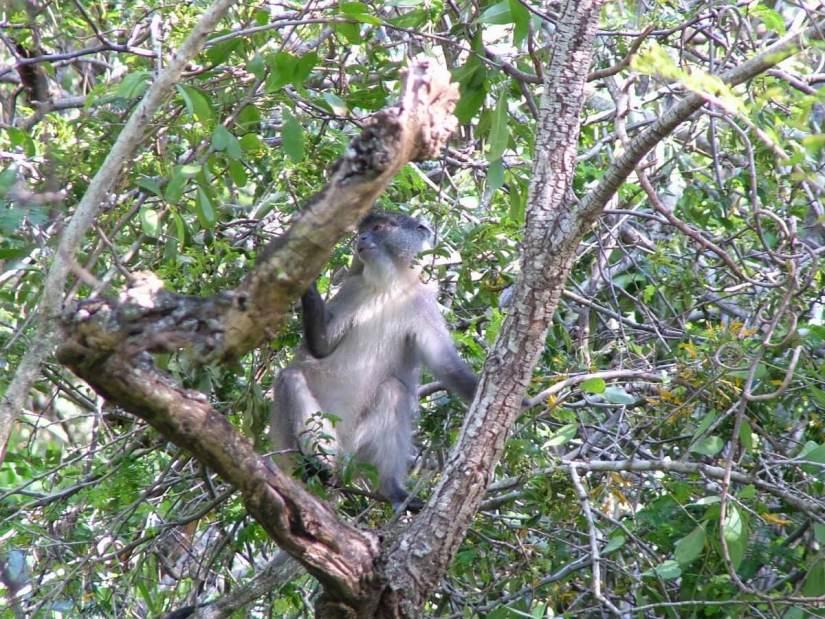 a samango monkey at hilltop camp, hluhluwe-imfolozi, south africa