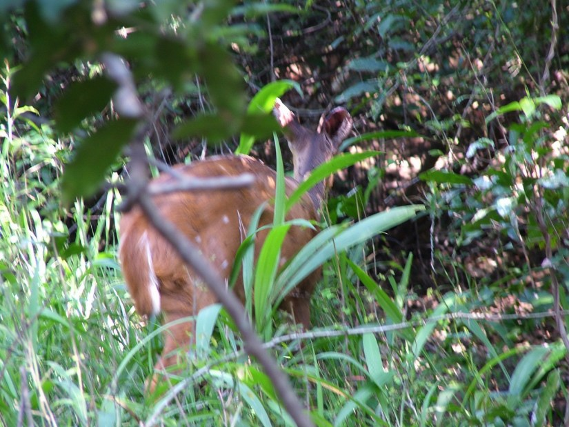 a bushbuck at hilltop camp, hluhluwe-imfolozi, south africa