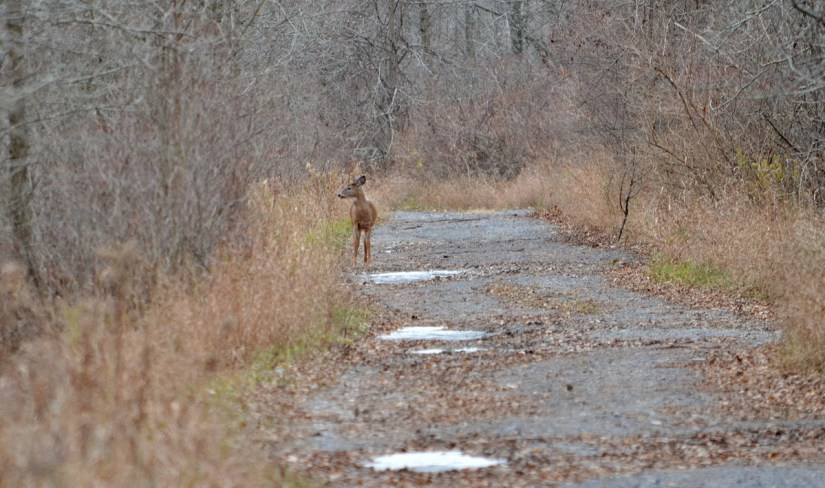 A white-tailed deer on a dirt roadway on Amherst Island, Ontario, Canada.