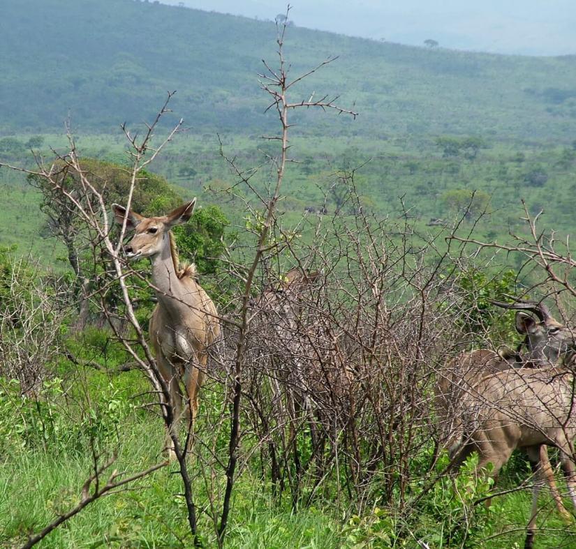 a female kudu, hluhluwe-imfolozi, south africa